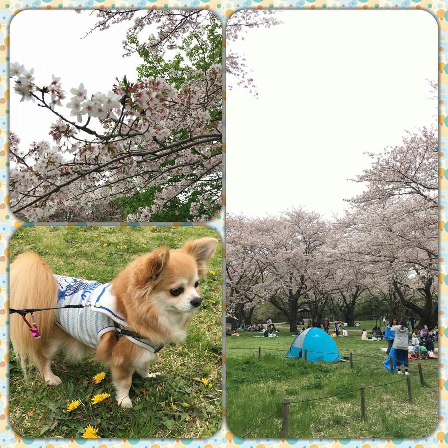 桜 昭和記念公園.jpg