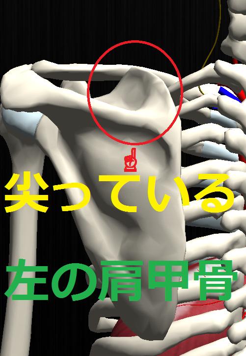 肩甲骨.png